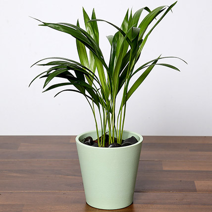 Chrysalidocarpus Plant In Green Pot: Plants in Dubai