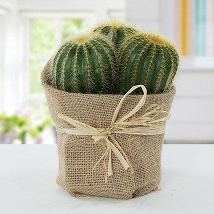 Echinocactus Grusonii Jute Wrapped Pot: Best Outdoor Plants in Dubai