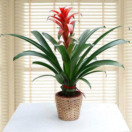 Guzmania Ecstasy: Best Flowering Plants