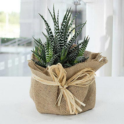Jute Wrapped Howarthia Plant: Indoor Plants in Dubai