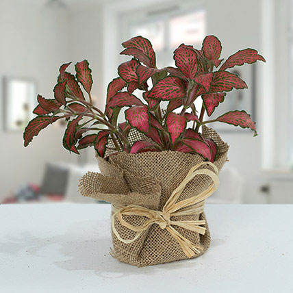 Lovely Fittonia Plant N Jute Wrapped Pot: Indoor Plants in Dubai