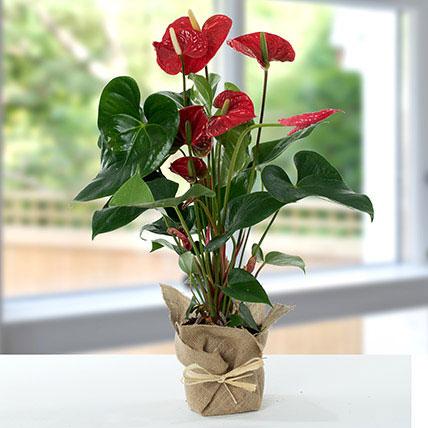 Red Anthurium Jute Wrapped Potted Plant: Anthuriums Flower Dubai