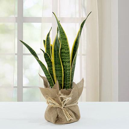 Sanseveria Plant with Jute Wrapping Pot: Cactus Plants and Succulents Plants