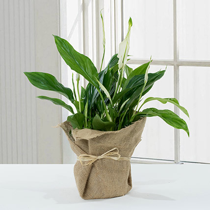 Spathiphyllum Jute Wrapped Potted Plant: Good Luck Plants