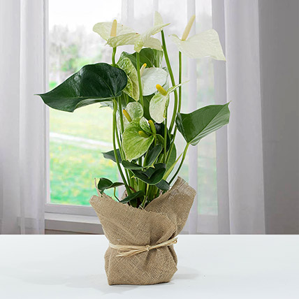 White Anthurium Jute Wrapped Potted Plant: Christmas Gift Ideas for Her