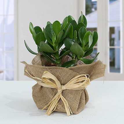 Classic Crassula in Jute Wrapping Pot: Good Luck Plants