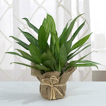 Aglaonema Jute Wrapping Pot: Good Luck Plants