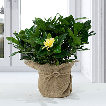 Gardenia Jasminoides with Jute Wrapped Pot: