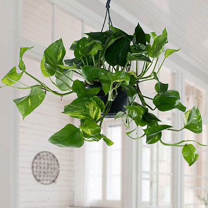 Hanging Epipremnum Aureum Plant: