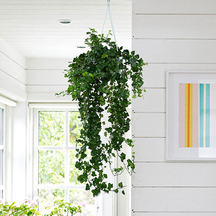 Hanging Hedera Hel Plant: