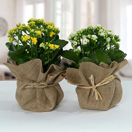 Jute Wrapped Dual Potted Plants: Indoor Flowering Plants