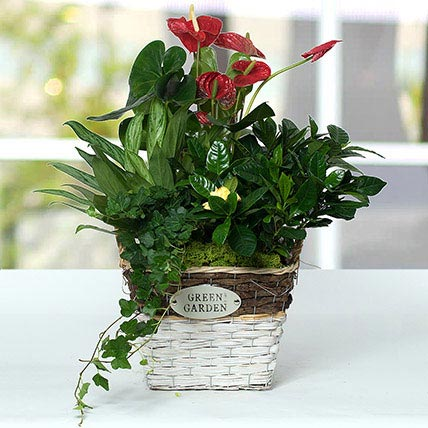 Mesmerising Green Basket Beauty: Anthuriums Flower Dubai