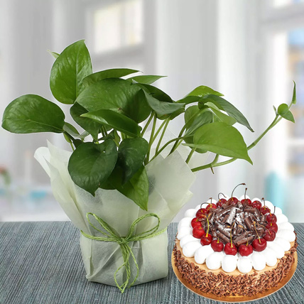 Money Plant and Blackforest Cake Combo:  Gifts Delivery