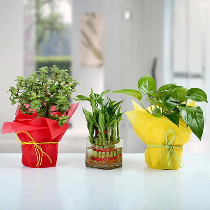 Set of 3 Good Luck Plants: