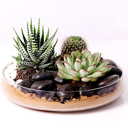 Combo of 3 Plants In Clear Glass Platter: Desktop Plants