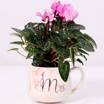 Cyclamen Plant In Ceramic Pot: