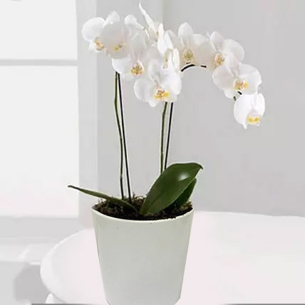 White Phalaenopsis Orchid Plant:  Business Gifts