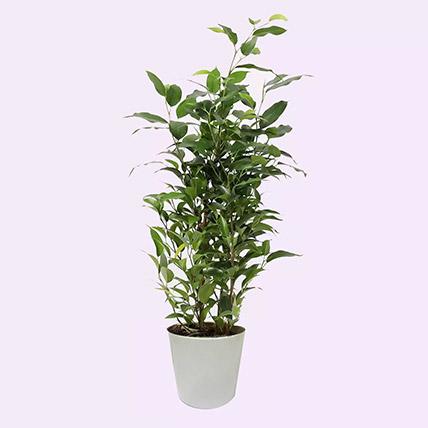 Ficus Plant In Ceramic Pot: