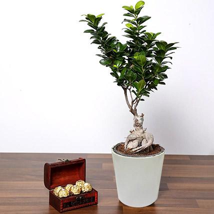 Ficus Bonsai Plant In Ceramic Pot and Chocolates: Birthday Chocolates