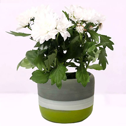 White Chrysanthemum Plant in Ceramic Pot: Indoor Flowering Plants
