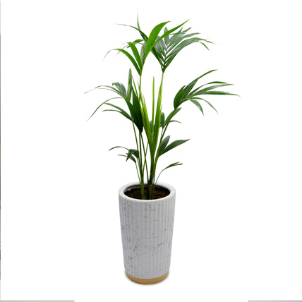 Kentia Palm: Indoor Plants in Dubai