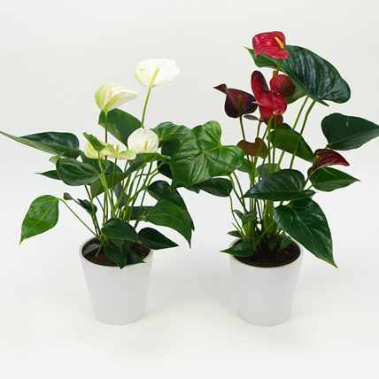 Red and White Anthurium Plants Combo: Air Purifying Indoor Plants