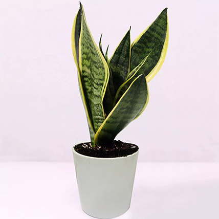 Sansevieria Plant In Ceramic Pot: Indoor Plants in Dubai