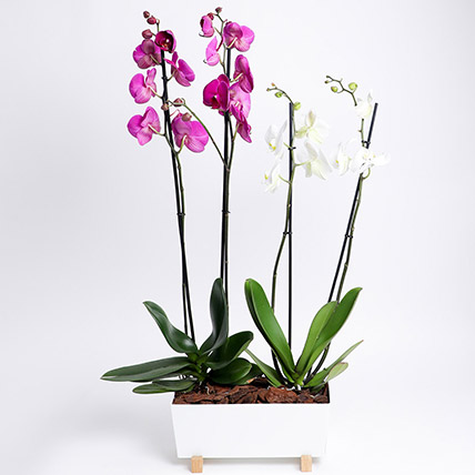 Phalaenopsis In White Metal Pot: