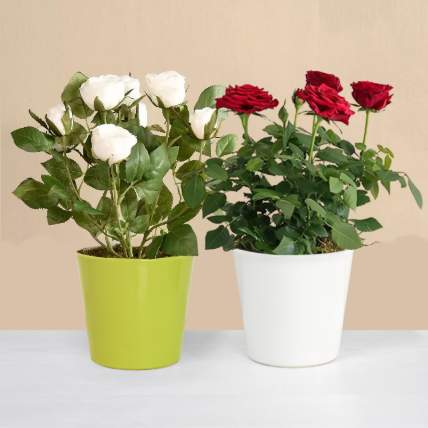 Red and White Rose Plant:
