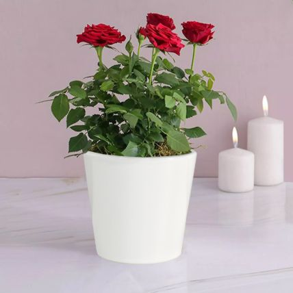 Red Rose Plant: