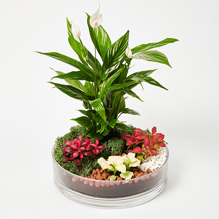 3 Fittonia & 1 Peace Lily Plant In Platter Shape Planter: Dish Gardens