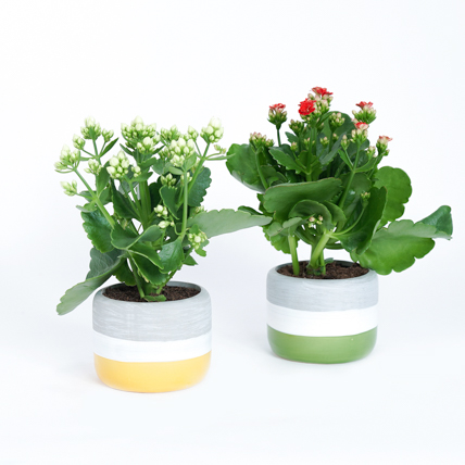White and Red Kalanchoe Plants: New Arrival Plants