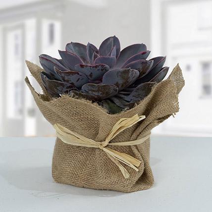 Purple Echeveria Jute Wrapped Plant: