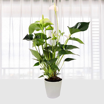 White Anthurium Plant In Pineapple Design Pot: