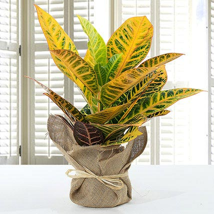Codiaeum Petra Plant With Jute Wrapped Pot:
