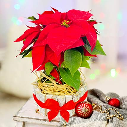 Bright Red Poinsettia Plant In Wooden Pot: