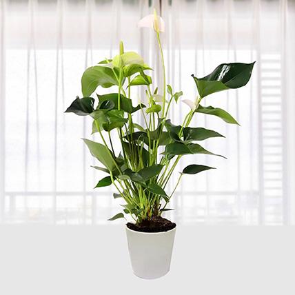 White Anthurium Plant In Pineapple Design Pot: