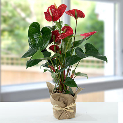 Red Anthurium Jute Wrapped Potted Plant: Saudi Arabia Gift Delivery