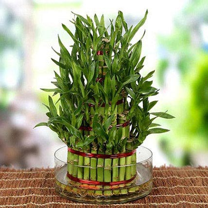 5 Layers Lucky Bamboo For Moms