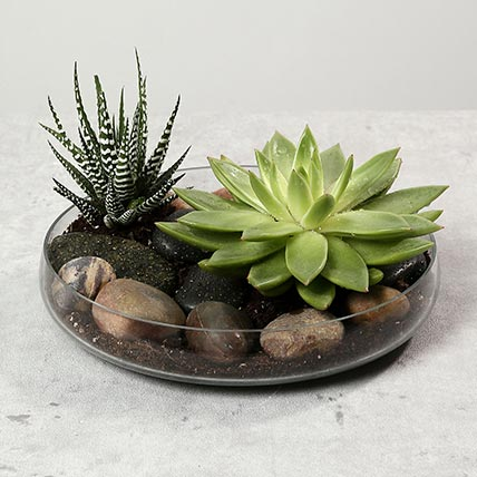 Green Echeveria and Haworthia with Natural Stones