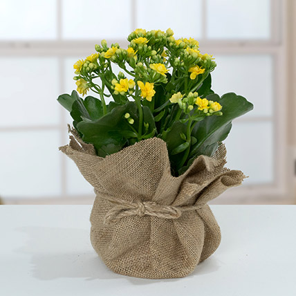 Jute Wrapped Yellow Kalanchoe Plant