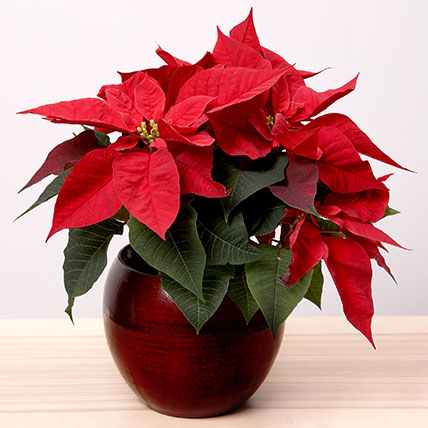 Poinsettia Plant In Oval Vase