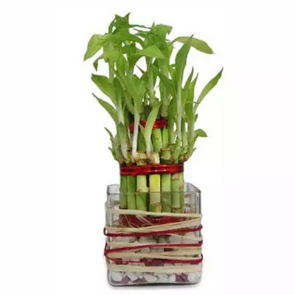 2-layer-lucky-bamboo-plant