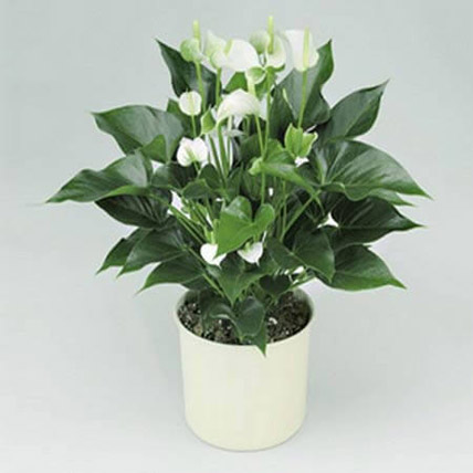 White Anthurium Plant