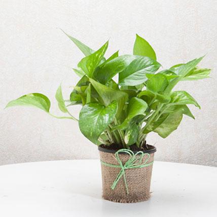 Money Plant PH