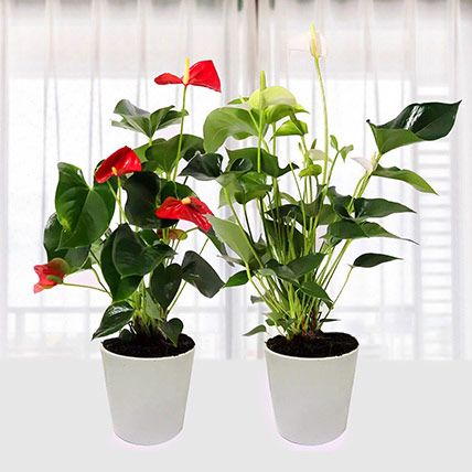 Red And White Anthurium Plants Combo