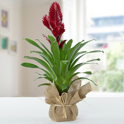 Vriesea Christiane Jute Wrapped Potted Plant