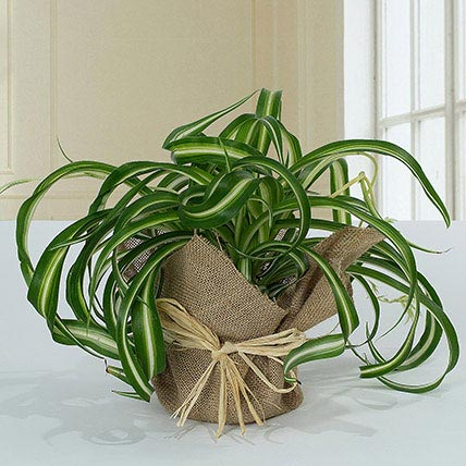 Jute Wrapped Green Wonder