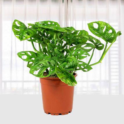 Monstera Obl Monkey leaf