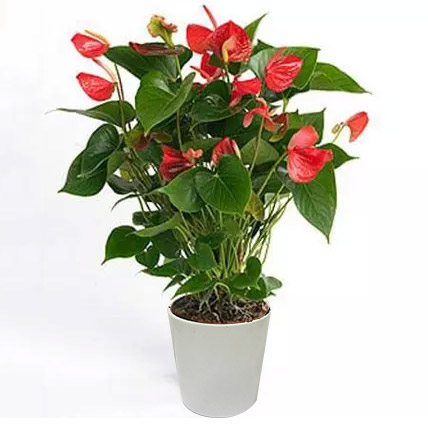 Red Anthurium In Ceramic Pot